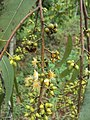 Eucalyptus camaldulensis 25.JPG