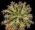 Euphorbia arida2 ies.jpg