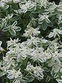 Euphorbia marginata Icicle (9554406098).jpg