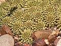 Euphorbia susannae PICT1029.JPG