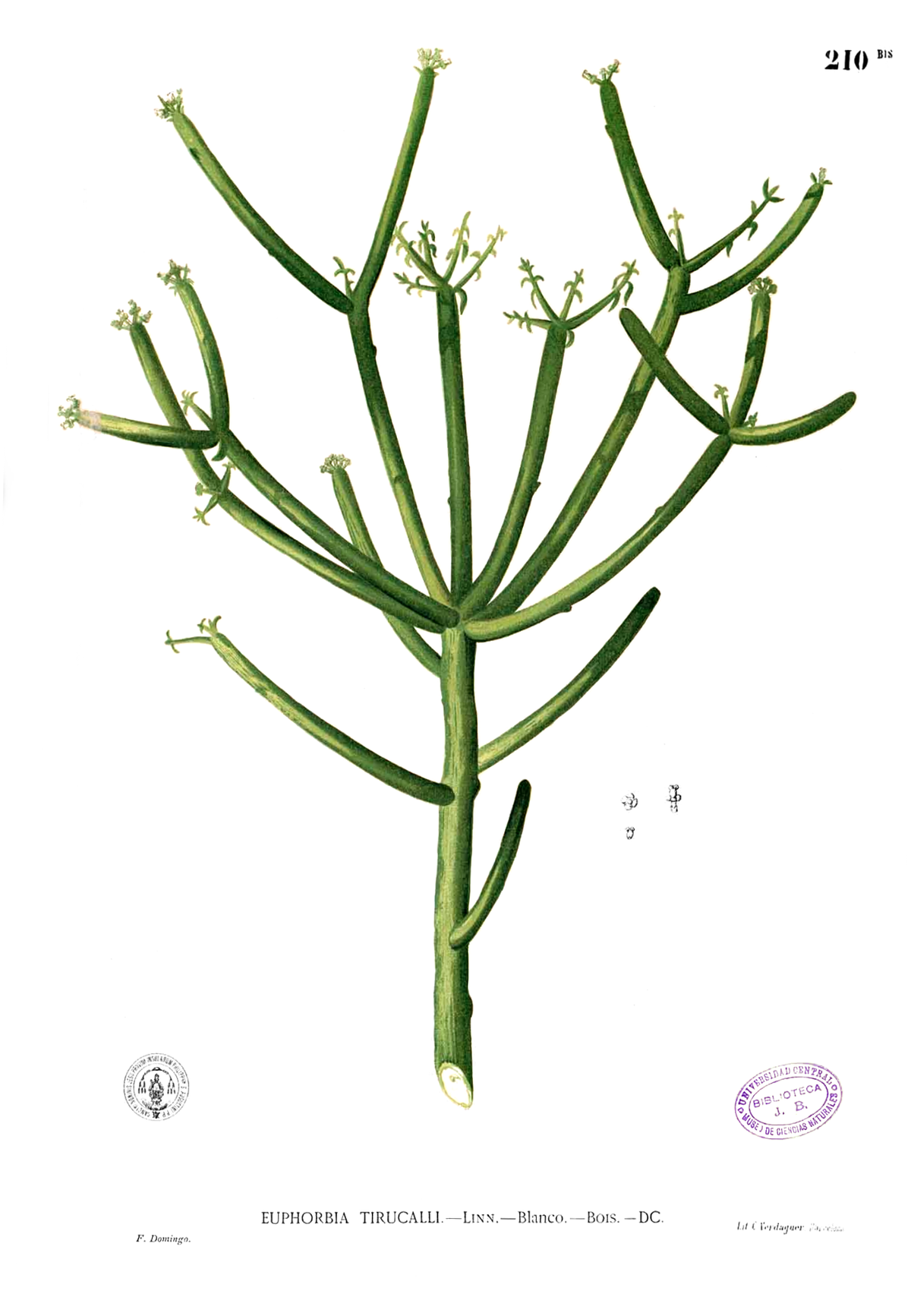 Euphorbia tirucalli Blanco1.210b.png