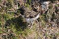 Eurasian Oystercatcher.fo.jpg