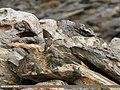 Eurasian Sparrowhawk (Accipiter nisus) (38115653041).jpg