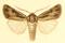 Euxoa scytha.png