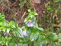 Exacum travancoricum at Mannavan Shola, Anamudi Shola National Park, Kerala (7).jpg