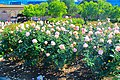 Exposition Park Rose Garden, Exposition Blvd. at Vermont Ave. University Park 18.jpg