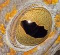 Eye of Gekko gecko in Yogyakarta, 2014-04-25.jpg
