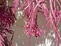 Fächerahornblüte.jpg