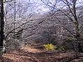 Fageda hivern turó del Morou.jpg