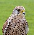 Falco tinnunculus (Linnaeus, 1758).jpg