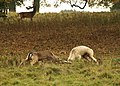 Fallow bucks fighting at Charlecote Park - geograph.org.uk - 1567604.jpg