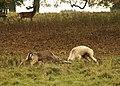 Fallow bucks fighting at Charlecote Park - geograph.org.uk - 1567604.jpg