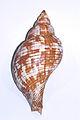 Fasciolaria tulipa.jpg