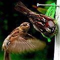Feeding Birds (5534618474).jpg