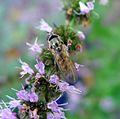 Female Platycheirus manicatus - Flickr - gailhampshire.jpg