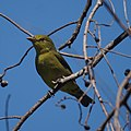 Female Scarlet Tanager (7094946625).jpg
