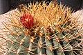 Ferocactus diguetii pm.jpg
