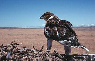 Ferruginous hawk - Dark-morph bird on nest