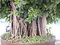 Ficus 2008 2.JPG