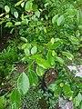 Ficus Microcarpa Beringin Cina.jpg