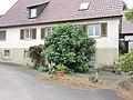 Ficus carica Obersöllbach 01.jpg