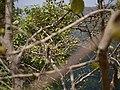 Ficus exasperata (8728281589).jpg