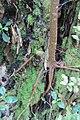 Ficus macrophylla macrophylla Desf. ex Pers. (AM AK355373-3).jpg