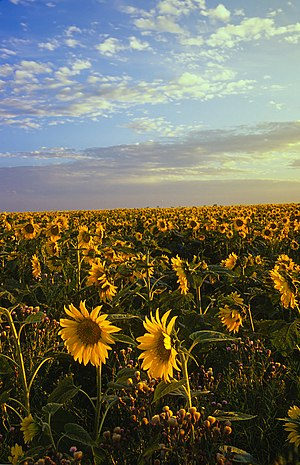 Altona, Manitoba - Image: Field of sunflowers Manitoba Canada