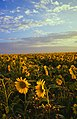 Field of sunflowers Manitoba Canada.jpg