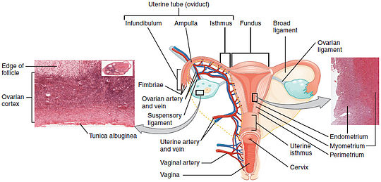 A diagram showing the female reproductive tract with histological images of the uterine wall and normal endometrium