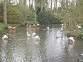 Flamingos at Birdland - geograph.org.uk - 1135576.jpg