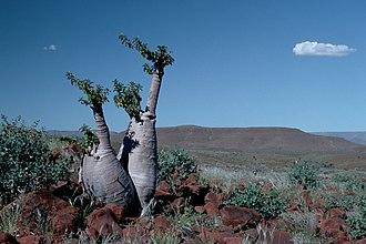 Pachypodium lealii - Image: Flaschenbaum