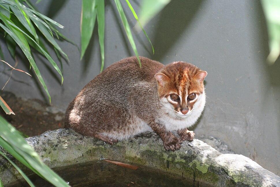 Flat-headed cat 1 Jim Sanderson