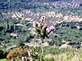 Fleur du Romarin.jpg