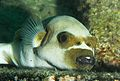 Flickr - JennyHuang - I am not dog,i am a lazy Pufferfish.jpg