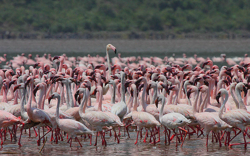 A Standout Greater Flamingo