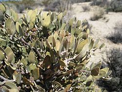 Flickr - brewbooks - Simmondsia chinensis (Jojoba).jpg