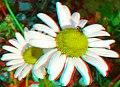 Flickr - jimf0390 - JimF 05-26-12 0007a fly on daisy.jpg