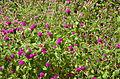 Flor Perpétua - Gomphrena globosa.jpg
