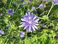 Flor cichorium endivia.JPG
