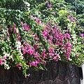 Flora of Sihanoukville 07.jpg