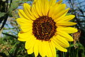 Flower-Sunflower-2485.jpg