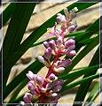 Flowering Fern - Flickr - pinemikey.jpg