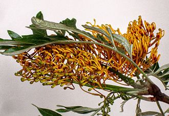 Grevillea robusta - Branch end with cluster Inflorescences