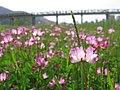 Flowers - panoramio - 阿留申.jpg