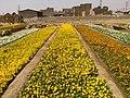 Flowers farm, Tehran, Pakdasht, Aluak سال جدیدومزارع گل، پاکدشت، آلوئک - panoramio.jpg