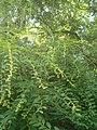 Flueggea suffruticosa male BotGardBln07122011D.JPG