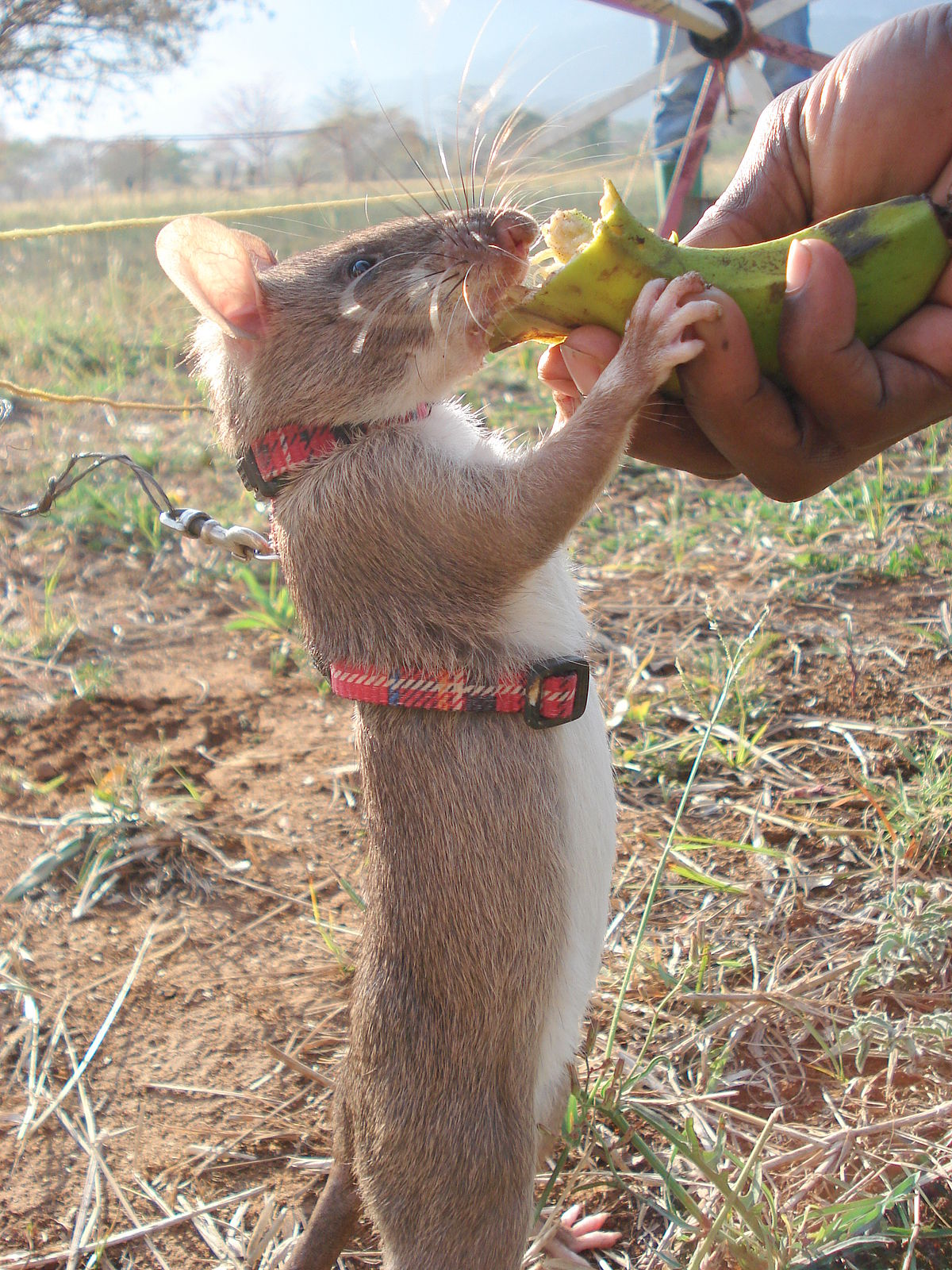Gambian pouched rat - Wikipedia