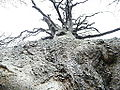 Forêt de Cécy (Somme), Le hêtre Richard (2).JPG