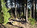 Forest at Wurmberg 08.jpg